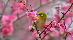 Japanese white-eye on Ume (1920x1080) by Mubi.A