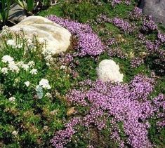 *WANT* Creeping Thyme Plant Care – How To Plant Creeping Thyme Ground Cover. Just like other thyme varieties, creeping thyme is edible with a flavor and aroma akin to mint when crushed or steeped for teas or tinctures. Red Creeping Thyme, Creeping Phlox, Rock Garden Plants, Shade Garden, Best Ground Cover Plants, Perennial Ground Cover, Thyme Plant, Woods, Courtyards