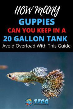 Aquarium Setup, Aquarium Design, Aquarium Ideas, Cichlid Aquarium, Aquarium Fish, Guppy, Nitrogen Cycle, Cleaning Fish, Aquarium