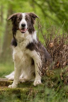 """Click visit site and Check out Cool """"Border Collie"""" T-shirts. This website is top-notch. Tip: You can search """"your name"""" or """"your favorite shirts"""" at search bar on the top."""