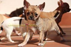 Chihuahuas Love - Chihuahuas. Cachorros y Adultos Juntos. Sociablización Chihuahuas.
