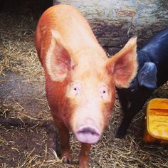 Pig of the day this is our Tamworth breeding sow Hilda. She's so friendly and intelligent #tamworthpig #hogsofhemscott #hemscotthogs  #freerange #buybritish #pasturetoplatter #freerangepork #outdoorbred #farming #britishpork #farmstay