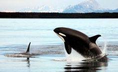 Las Orcas Caracteristicas Alimentacion Reproduccion Inteligencia