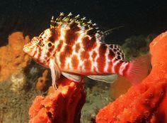 Blotched hawkfish - Cirrhitichthys aprinus