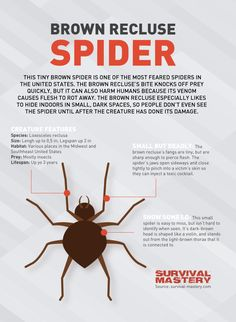 Emergency and preventative care for spider bites. Common spiders whose bark is not worse than their bite. Emergency spider bite treatment: before you make it to the hospital. Consequences of spider bites. Spider Bite Images, Spider Pictures, Spider Identification Chart, Spider Bite Treatment, Brown Recluse Spider Bite, Common Spiders, Spider Bites, Fear Of Flying, Alternative Health
