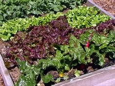 Gardening and planting tips by Colorado Extension for veggies like tomatoes, lettuce, spinach, kale, broccoli, cauliflower, asparagus, etc