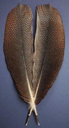 argus pheasant feathers
