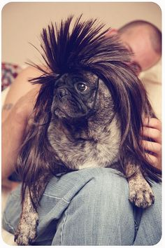 I know its super super stupid, but I cant help it - pugs in wigs are SO hilarious to me! Pugs In Costume, Pet Costumes, Funny Dogs, Funny Animals, Cute Animals, Pug Pictures, Animal Pictures, Cute Pugs, Cute Puppies
