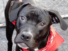 TO BE DESTROYED 5/4/13 Manhattan Center  MANN - A0963068  MALE, B/ W PIT BULL MIX, 1 yr He is a very friendly dog, easy going and has relaxed quite a bit since his arrival at the care center. Mann is a very handsome and sociable young male who just needs one thing...A loving master or family and a forever home he only has tonight. Please advocate and share this great boy for a loving home. https://www.facebook.com/photo.php?fbid=601886646490885=a.161896683823219.39456.152876678058553=3
