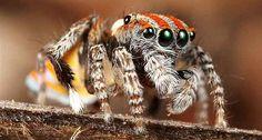 Maratus volans -- Austrailan peacock spider