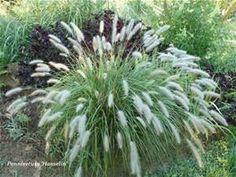 hamlin grass - Bing images