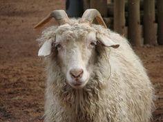 cabra de angora de cuya lana procede la fibra conocida como mohair by ltshears
