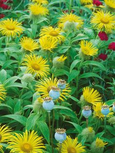 A mainstay of the traditional flower garden, perennials provide an abundance of bright, beautiful flowers for fall.