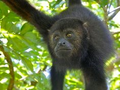 Community Baboon Sanctuary, Belize (for endangered Black Howler Monkeys)