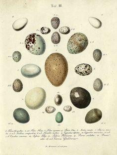 hand coloured bird egg engravings from 1819