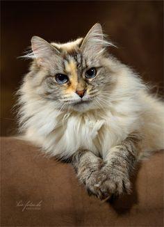 Beautiful ragdoll cat. ღ(。◕‿◕。)ღ