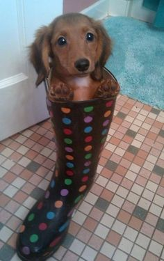 doxie in a rainboot <3