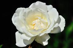 Rose blanche, Les fleurs - MonSitePhotos