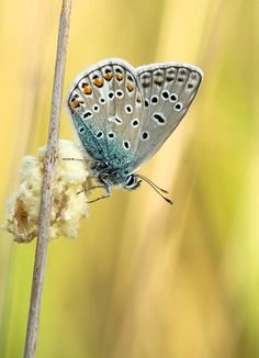 Common blue Nature, Blue, Fotografia, Naturaleza, Natural, Scenery