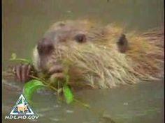 Beaver Video   Missouri Department of Conservation