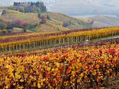 I colori dell'autunno: spettacolo nelle Langhe, province of Cuneo, region of Piedmont, Italy
