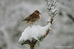 Vinterfugle