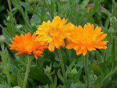 Calendula-Körömvirág...Kné