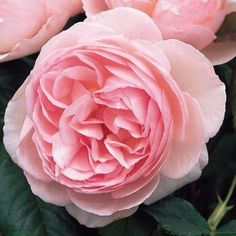 Heritage English Rose - bred by David Austin Shrub Rose Flower of delicate shell-like beauty with a lovely fragrance Charming, soft clear pink, cup-shaped flowers. Beautiful fruit, honey and carnation fragrance on a myrrh background. Strong, bushy growth.