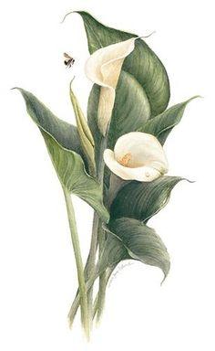 Tulip Bouquet Discover Bewitching Beautiful And Bountiful Botanical Art - Bored Art Jane Pelland Vintage Botanical Prints, Botanical Drawings, Botanical Art, Calla Lily Tattoos, Art Floral, Watercolor Flowers, Watercolor Art, Lilies Drawing, Lily Painting