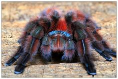 Avicularia Versicolor -- Martinique Pinktoe Tarantula (Wanted List) Reptiles, Tarantula Enclosure, Small Lizards, Itsy Bitsy Spider, Beautiful Bugs, Beautiful Children, Veneno, Baboon, Insects