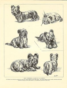 Skye Terrier Terriers, Skye Terrier, Terrier Dog Breeds, Pet Psychic, Pet Dogs, Dog Cat, Dog Illustration, Illustrations, Yorkshire
