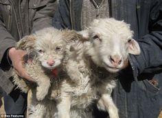 Puppy born in China that looks a lot like a sheep! Google Image Result for http://2.bp.blogspot.com/-3AXspkZBU8Q/TY0p3RLdD1I/AAAAAAAAl1I/m5R9EJXN3oU/s1600/Sheep%252BDog.jpg