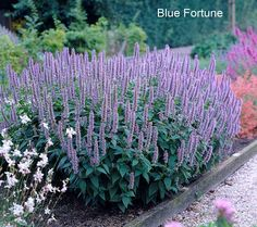 Roberta's 3 pc. Wonderfully Fragrant Anise Agastache