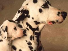 Dalmatian and her puppy, so sweet. I miss my dalmation Jazz, she had blue eyes too. Baby Dogs, Pet Dogs, Dogs And Puppies, Dog Cat, Pets, Doggies, The Animals, Baby Animals, Dalmatian Dogs