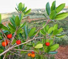 Από την κ. Σοφία Μούτσου - τ. δήμαρχο Στυρέων Εύβοιας Τα κούμαρα αυτό το υπέροχο άγριο φρούτο των βουνών της Εύβοιας, γίνονται ένα πολ... Beverages, Drinks, Fruits And Veggies, Custom Photo, Stuffed Mushrooms, Plants, Food, Liqueurs, Smoothie