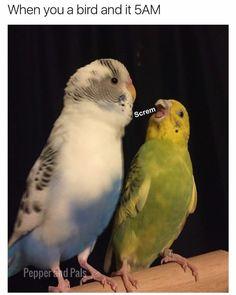 Training Your Pet Parrot Funny Birds, Cute Birds, Pretty Birds, Cute Funny Animals, Cute Baby Animals, Animals And Pets, Memes Br, Cat Memes, Parrot Painting