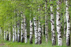 Alkukesän koivikko - koivu kesä alkukesä koivunlehti koivikko metsä koivumetsä vihreä runko koivunrunko rungot Betula luonto rivi rivissä
