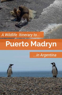 This independent itinerary for a Puerto Madryn tour in Argentina will show you an astonishing variety of marine wildlife. Visit the Peninsula Valdez in northeastern Patagonia and see whales, sea lions, penguins and more