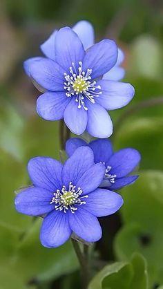 Purple-blue flowers