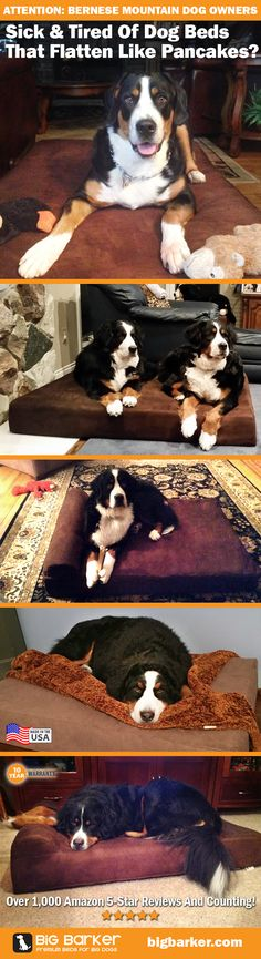 Bernese Mountain Dog on the Big Barker dog bed | Perfect for big dogs, 10 year warranty! |  See more pictures at http://bigbarker.com