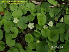 Dichondra - KIDNEY WEED - CONVOLVULACEAE