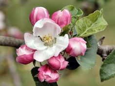 Apple Blossom Hd Images 3 HD Wallpapers
