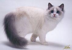 "Blue Point Bicolor Ragdoll  Cat ""Briaton"" Floppicat Briaton of Bellapalazzo"