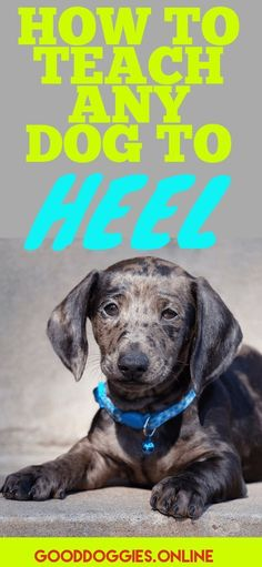 teaching a dog to heel via @KaufmannsPuppy