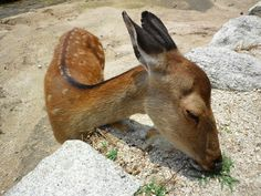 Deer in the shrine island of Aki Province