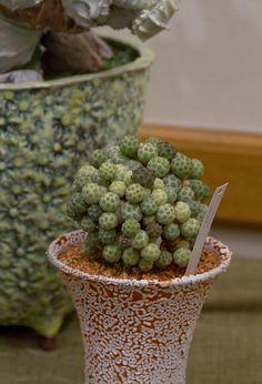Conophytum obtusum (Family: Aisoaceae)