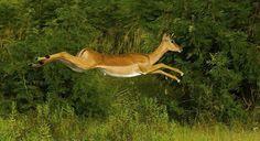 Impala at Lake Mburo National Park, Uganda