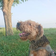 Today my #Airedale is a #happydog
