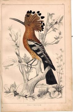 Common Hoopoe Bird 1853 Antique Hand Color Engraved  Print