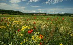 луг, цветы, трава, маки, природа